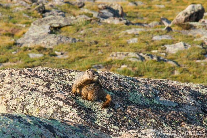 Ruta por Colorado en coche: Marmota en la tundra