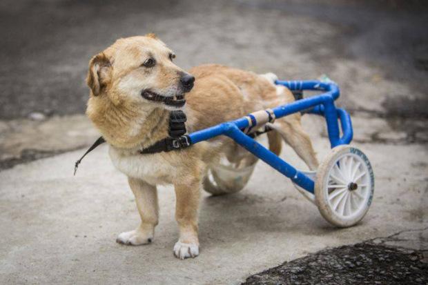 Hospital de Rumania entrega silla de ruedas a los perritos que la necesiten