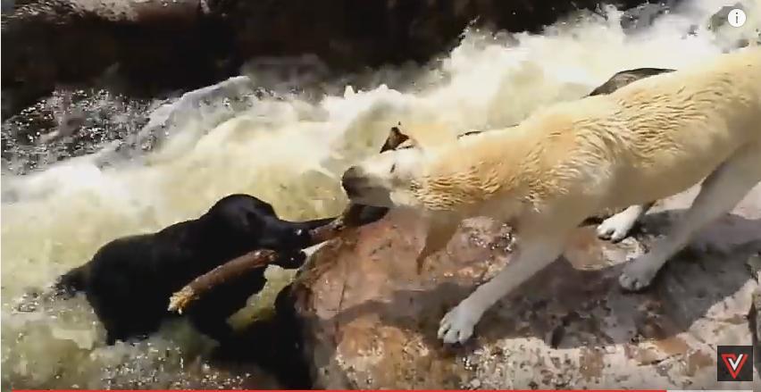 Vídeo Viral: Un perro salvó a otro de muerte en un rió.
