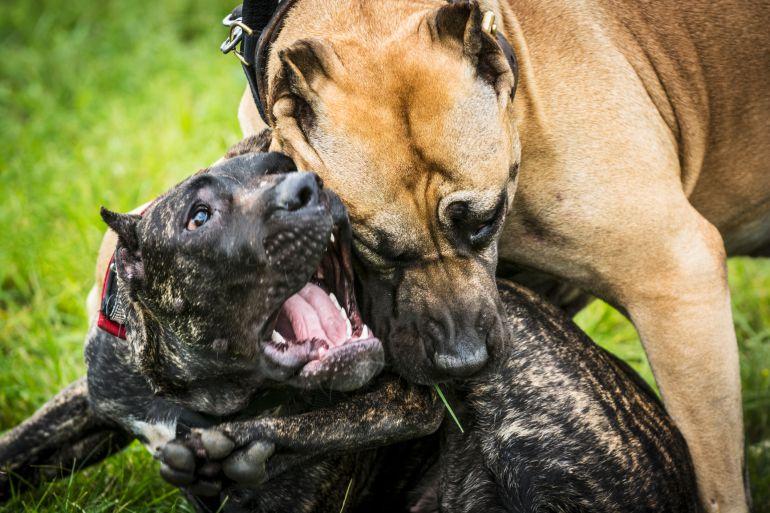 """Salva la policía a 230 perros de pelea, cae el """"Maestro"""""""