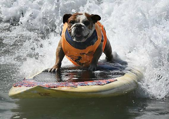 Perros participan en competencia de surf en EU