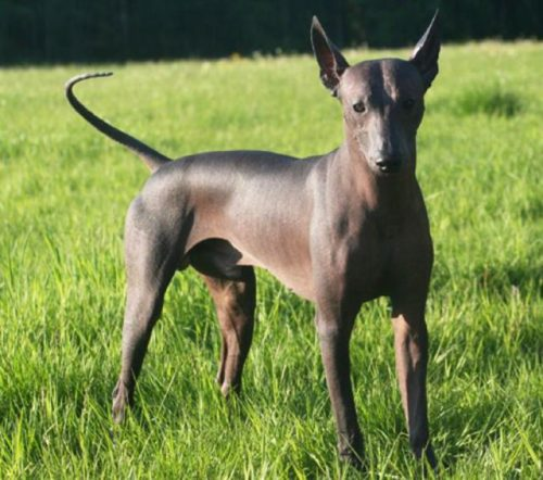 El Xoloitzcuintle, perro icono de la CDMX