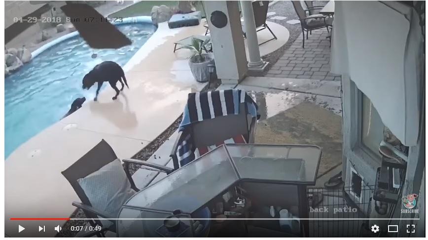 (VIDEO) Perrito héroe salva a otro de morir ahogado en una alberca