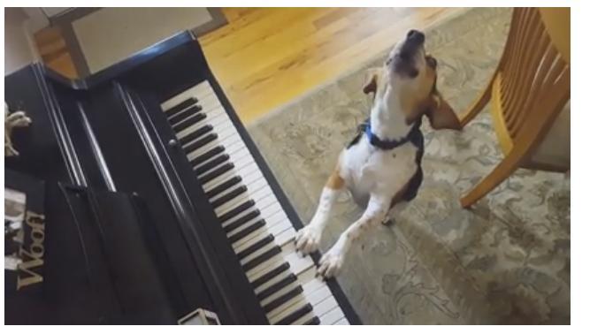 Perrito toca el piano y canta, La nueva sensación (VIDEO)