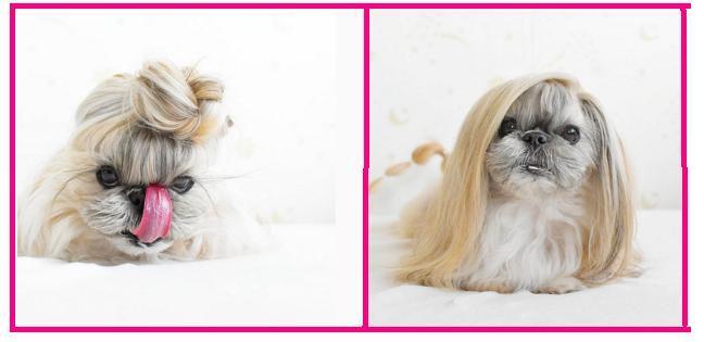 Kuma, perrita  furor en Instagram por sus extravagantes peinados