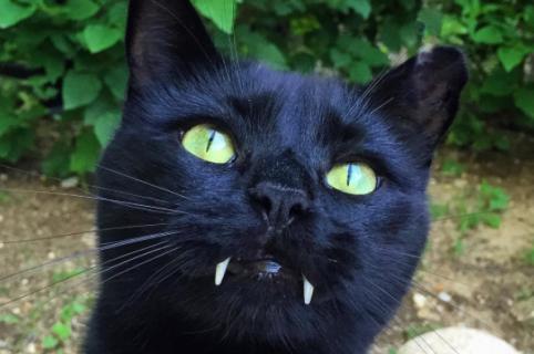 Conoce a Monkey, el gato Vampiro.