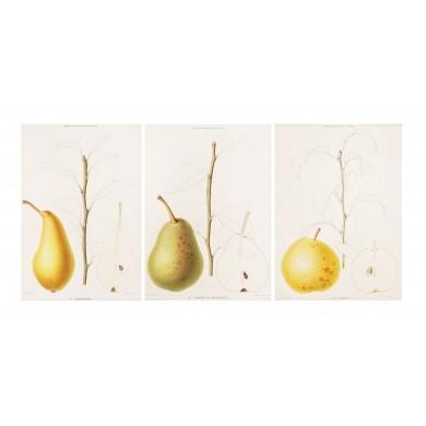 Fructe de toamnă, cromolitografii după desenele lui Alfred Riocreux