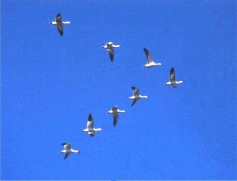 united geese :-)
