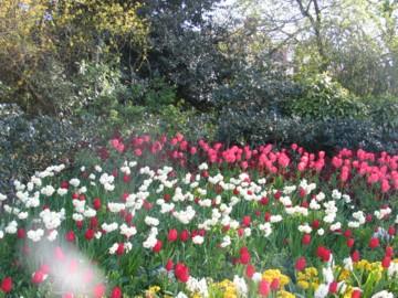 daffodils glory!