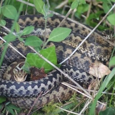 Adders Curled Up In Grass Male And Female Adder