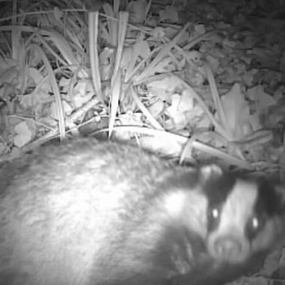 Badger Seen On Camera Trap Badger Survey