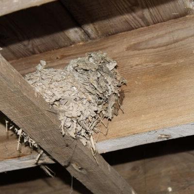 Bird Nest Inside Building On Beam Bird Survey