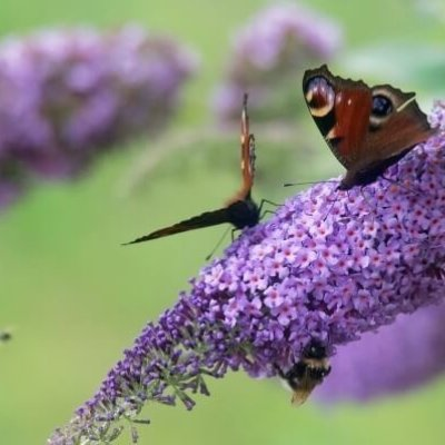 Butterflies On Buddleia Invertebrate Insect Survey
