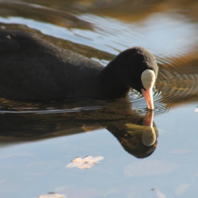 Coot Uk Bird Survey Ecological Consultant