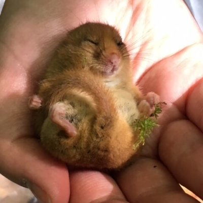 Dormouse Holding Moss Dormouse Survey In Hand Ecosupport