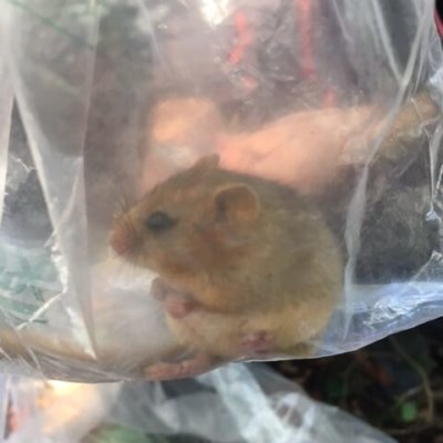 Dormouse In Bag Uk Dormouse Survey