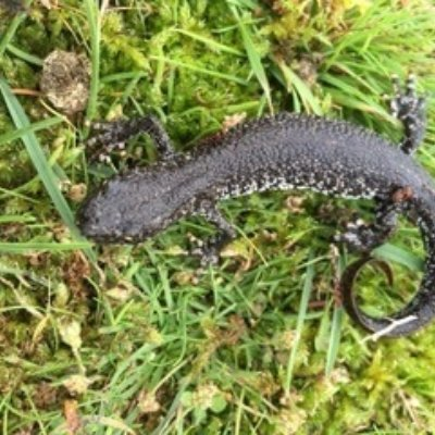 Great Crested Newt Hampshire Uk