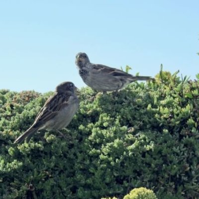 House Sparrows On Hedge Ecosupport Phase Ii Bird Survey