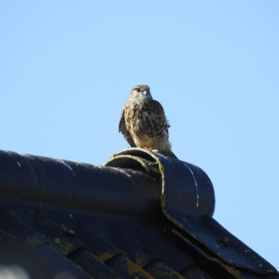 Merlin On Roof Uk Bird Survey Ecology Consultant