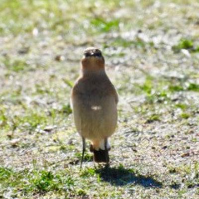 Northern Wheatear Bird Survey Ecology