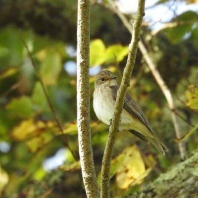 Spotted Flycatcher Ecology Bird Survey