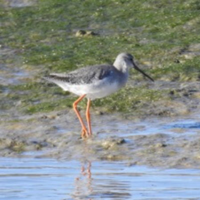 Spotted Redshank Ecology Bird Survey