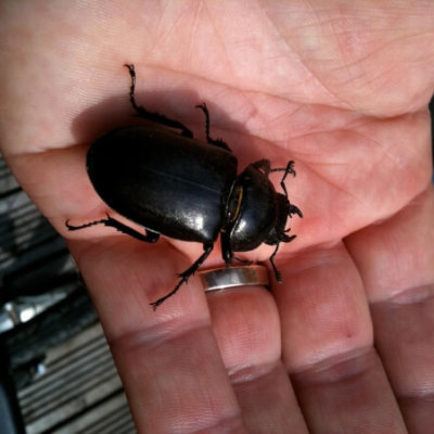 Stag Beetle In Hand Invertebrate Survey
