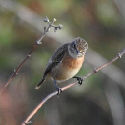 Stonechat Bird Survey