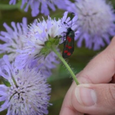 Insect On Flower Invertebrate Ecology Survey
