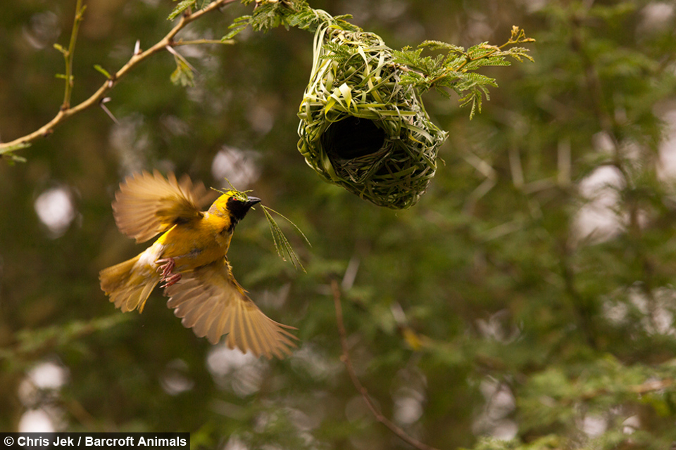 Love Nest Weaver Birds Create Elaborate Nests To Attract