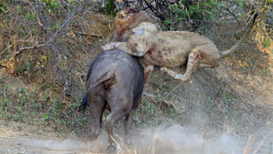 Last Stand: Buffalo Fights Off Ravenous Lion In Fatal Fight