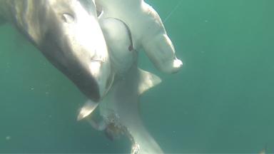 SNAPPED! Tiger Shark attacks Hammerhead Shark