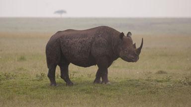 Protecting Kenya's Endangered Black Rhinos