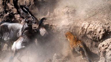 Top Cat: Leopard Spotted Taking Down Wildebeest During Annual Migration
