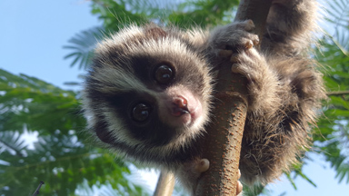 Baby Slow Lorises Saved From Brutal Pet Trade