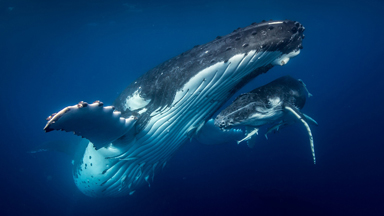 Incredible Drone Footage Captures the Intimate Relationship Between a Humpback Whale and her Calf