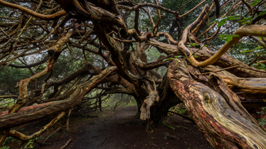 Kingley Vale: The Ancient Yews of Britain