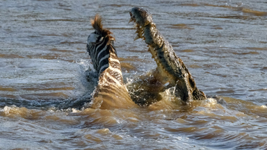 In Deep Water: Young Zebra Attacked By Crocodiles