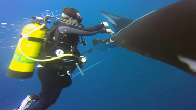 Manta Ray 'Thanks' Divers For Rescue