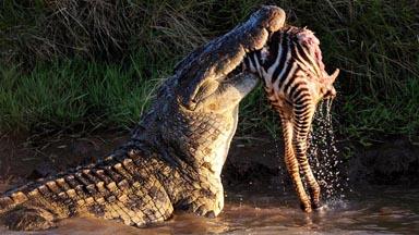 Blood Bath: Croc's Devour Prey in Perilous Migration Crossing