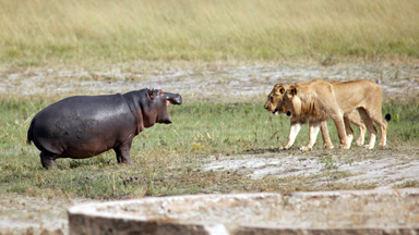 Brave Hippo Turns Tables On Two Hungry Lions