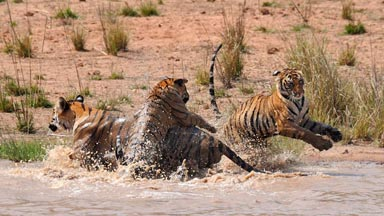 Cats DO Like Water! Adorable Tiger Cubs Splash Around In Watering Hole