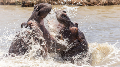Hippo Wars: Two bulls fight tooth-to-tooth after younger male tries to enter older hippo's territory