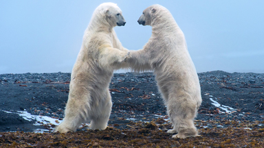 Clash In The Arctic: Polar Bear Play Fight