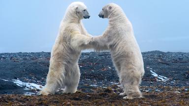 Clash In The Arctic: Polar Bear Play Fight