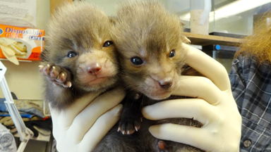 Baby Red Foxes Rescued After Being Abandoned in Car Park