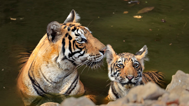 Family Day out: Bengal tiger takes her cheeky cubs for a stroll