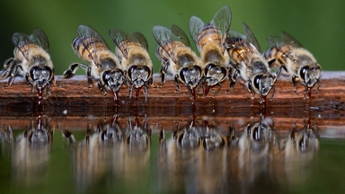 Busy Bees Stop For A Drink In South Africa's Sun City