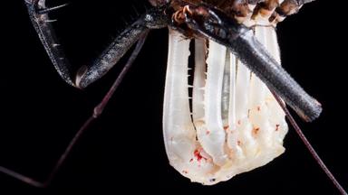 Alien-like Spider Sheds its Exoskeleton