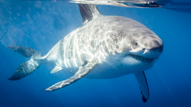 Meet Lucy: The Famous 17-Foot Great White Shark